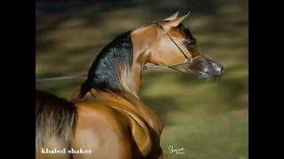 Arabian Horses... sense الخيول العربية كبرياء وفخامة