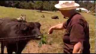 Milking Buffalo at Fairburn Farm - Shaw TV Duncan