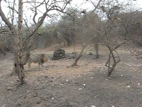 Lion video Gir