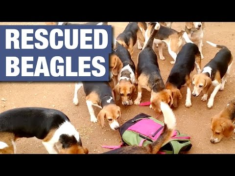 156 Beagles Rescued From Research Lab