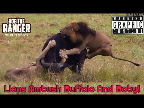 Xxx Mp4 Dramatic Lion Action Lions Stalk And Catch Buffalo Cow Newborn Calf 3gp Sex