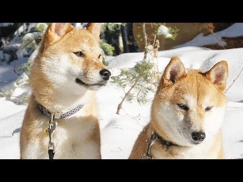 Xxx Mp4 Shiba Inus In 4K Saku Kuma Playing In The Snow 雪の中で遊ぶ柴犬 3gp Sex