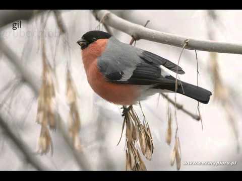 ptaki zimujące w Polsce
