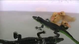 Alligator vs Crocodile [Lillte Alligator and Little Duck]-Kids Video