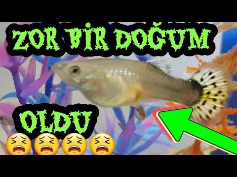 #guppyfish LEPİSTES DOĞUM YAPARKEN ONU OYALADIM, lepistes akvaryumu, lepistes yavrusu, guppy fish,