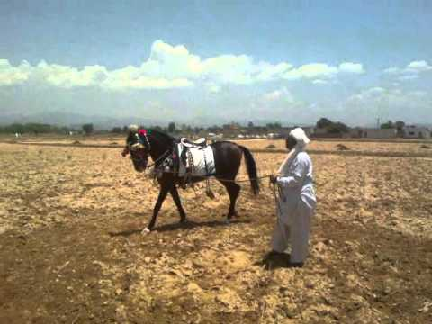 Intezar Tiger Oriental Horses of Pakistan