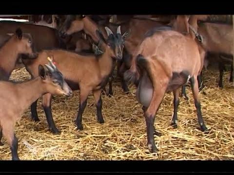 Farma Alpskih koza iz Srpskog Krstura U nasem ataru 396.wmv