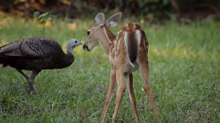 Wild Turkeys Play with Deer   BBC Earth