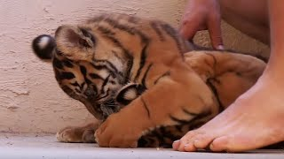 Living With Tiger Cubs | Tigers About The House | BBC