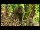 Baboons vs chimpanzees BBC wildlife