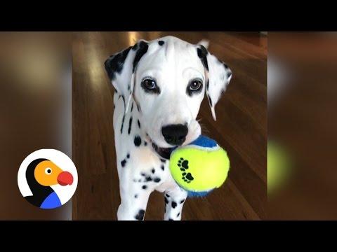 Dalmatian Puppy Sneak Attack The Dodo