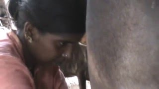 Woman milking cow in Chennai Tamil Nadu
