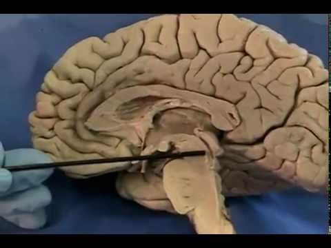 Xxx Mp4 UIC Neuroanatomy Midsagittal Section Of The Human Brain Conwell Anderson Ph D 3gp Sex