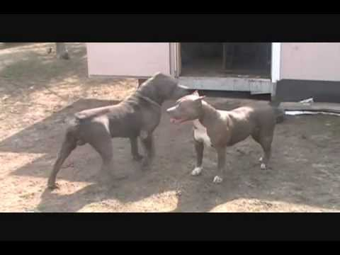 Bully XXL pitbull, BGK's The Rock, the largest XXL blue pitbull, the biggest pit bull