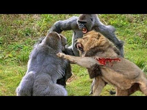 LIVE Best Attacks Of Wild Animals 2017 Top Craziest Wild Animal Fights Caught On Camera
