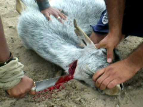 Goat slaughter in el campo