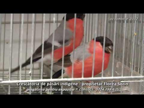 Crescatoria de pasari indigene pregatirea pentru expozitie
