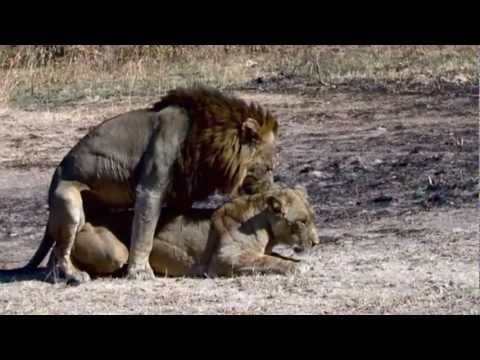 Xxx Mp4 Lions Mating Possibly The Best Video Record On YouTube Of Mating Lions 3gp Sex