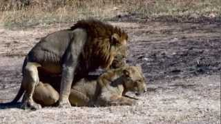 Lions mating - Possibly the best video record on YouTube of Mating Lions.