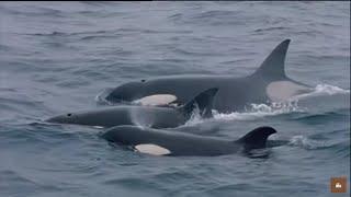 Les orques de Crozet : David et les Goliaths - Documentaire animalier