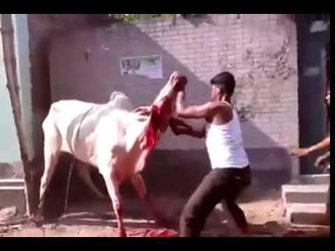 Dangerous Qurbani Goru jobai (RoHan HoSsain)