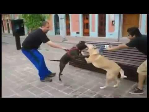 Perro pitbull ataca a un perro labrador en Plazuela Machado Mazatlán Sinaloa