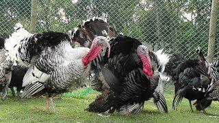 টার্কি মুরগি পালন পদ্ধতি|Turkey chicken keeping procedures|