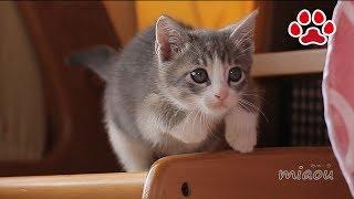 仔猫と遊ぶ三毛猫 Mi ke and Tora