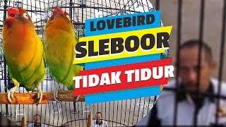 SUARA BURUNG : Maaf ! Sleboor Bukan LOVEBIRD TIDUR, Ngekek Panjang Pantau Jurii ??