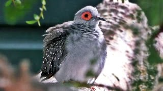 Diamond Dove Singing a Beautiful Bird Song - Exotic Birds