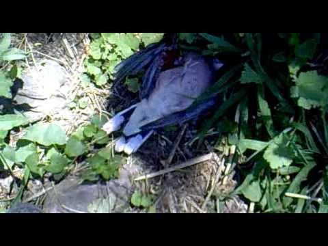 Caza de palomas con rifle parte 8