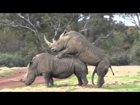 Xxx Mp4 It Takes 2 Werribee Open Range Zoo Rhino Love 3gp Sex