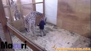 April the Giraffe kicking the vet!!