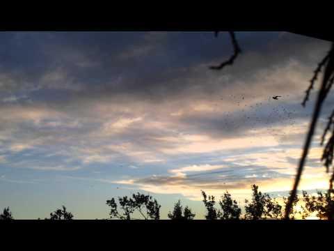 palombes et chasseurs au ralentis