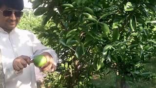 মাল্টা বাগান পিরোজপুর বাংলাদেশ