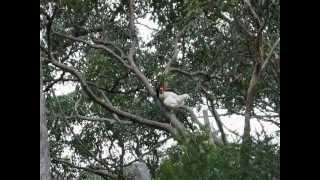 Chickens flying in Australia