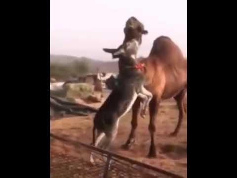 Camel vs Donkey big fight