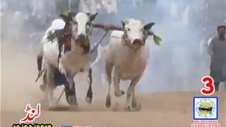 Bul Race In Pakistan Sunny Video Fateh Jang  18 03 2019 NO3