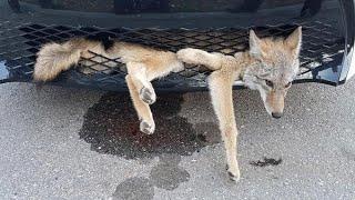 Coyote overleeft bizar avontuur