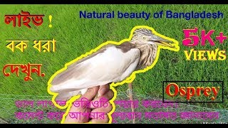 Live Osprey Bird hunting by Fad, osprey catch | egret / Crane Birds, বাংলাদেশের পাখির অপরুপ সৌন্দর্য