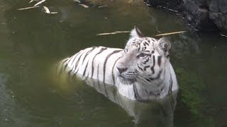Four White Tigers Playing in Vandalur Zoo near Chennai