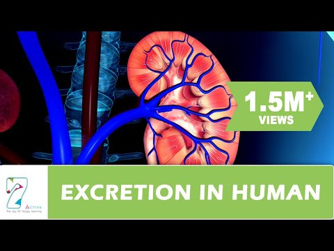 Excretion in human