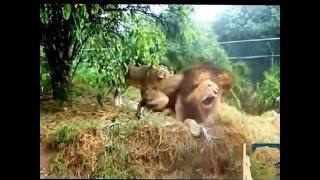 اسدان في حديقة الحيوانات يمارسان المثلية الجنسية