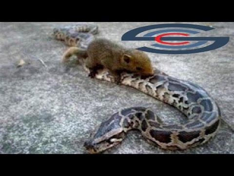 معركة دامية بين السنجاب وثعبان deadly battle between a squirrel and snake animals hot