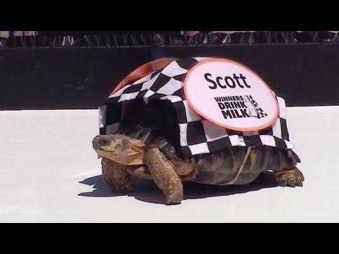 Xxx Mp4 Zoopolis 500 Tortoise Race Before Indianapolis 500 3gp Sex