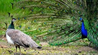 Funny Animals Mating Behaviours -  Peacock Mating Dance