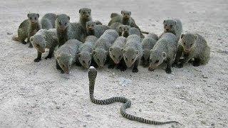 Cobra Vs Mongoose Attack , King Cobta Animals Fight in Zoo !!!