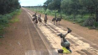 Emu run!!!!.