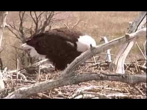 Standley Lake (CO) Bald Eagles 4-7-17 First Feeding