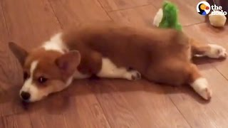 Corgi Puppy Sploot Compilation | The Dodo